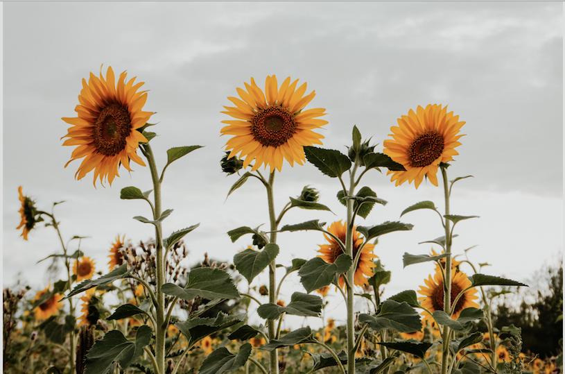 Будьте як соняшник: секрет сєви, спільноти та духовного майстера